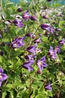 Clematis PRINCE WILLIAM® Zo08171